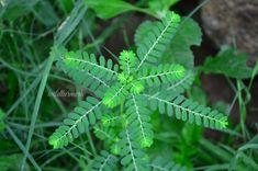 10 Top Medicinal Uses & Benefits Of Keelanelli Ayurvedic Plants, Herbal Plants, Medicinal Plants, Health Benefits, Health Tips, Health Care, Home Remedies, Natural Remedies, Liver Diet