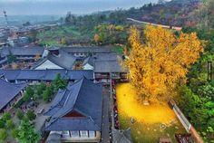 1400年歷史的古銀杏樹只要到了落葉的季節,整個秋天就會變成童話般夢幻! - boMb01