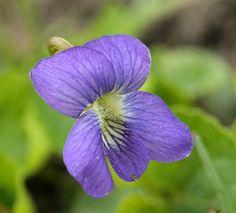La petite violette