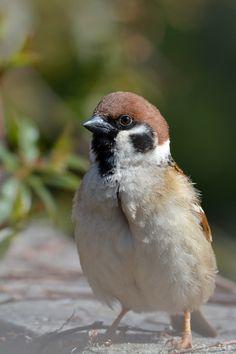 昨日東京で開花って言ってもさぁ、ソメイヨシノはまだこれからよー。せっかちなんだよね、おじさんはさ。#スズメ #Sparrows #鳥 #Birds #東京 #写真好きな人と繋がりたい #お話