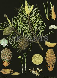Pine Jung-Koch-Quentell poster available from Hagemann Vintage Botanical Prints, Botanical Drawings, Botanical Art, Botanical Illustration, Gravure Illustration, Illustration Art, Flora Und Fauna, Kids Prints, Green Trees