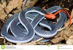Serpiente Coralina Azul - Descarga De Over 30 Millones de fotos de alta calidad e imágenes Vectores% ee%. Inscríbete GRATIS hoy. Imagen: 4950981