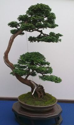 bonsai chamaecyparis Obtusa Nana gevormd