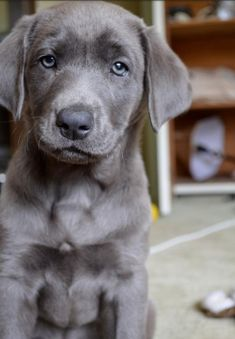 Silver Lab puppy...how sweet is this face!?