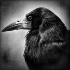 Those born from Sept 22 - Oct 22 are of the Raven Birth Totem. Ravens are friendly and good secret-keepers, though they crave order. Read more or find yours here: http://www.kokopellinh.com/knowledge-base/animal-birth-totems-c-157.html (Photo by roblfc 1892)