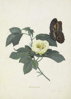 Gossypium - Georg Dionysius Ehret - Kew Gardens Botanical Prints - Kew Botanical Prints