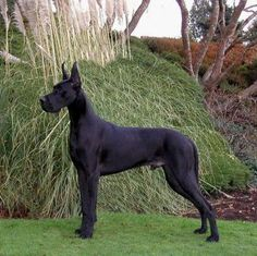 Great Dane!!! Did you know black dogs are the hardest to find homes for in animal shelters? So sad...