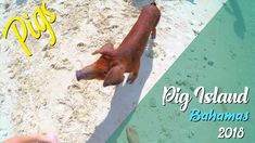 Bucket list trip to pig island on the Bahamas! #bucketlist #pigisland #bahamas #travel