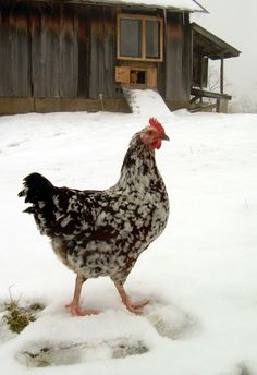 Cold weather chickens - speckled sussex in the snow guide to keeping chickens healthy during winter