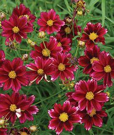 25 Drought Resistant Perennials Mercury Rising #Gardening #DroughtResistant
