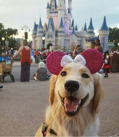Golden retriever at Disneyland #goldenretriever
