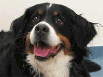 Bernese Mountain, Mountain Dogs, Chien Mira, Dog Cat, Cats, Animals, Dog Types, Gatos, Animales