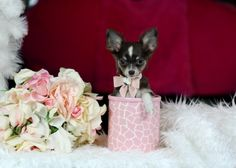 Teacup Chihuahuas For Sale