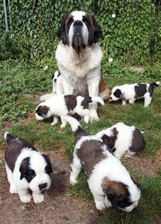 Saint Bernard puppies with mother dog   ...........click here to find out more     http://googydog.com