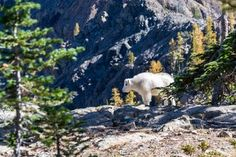 A white mountain goat standing on rocks below a jagged rock face