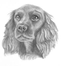Graphite pencil drawing of a pretty black spaniel. Pet portrait commissions welcome.