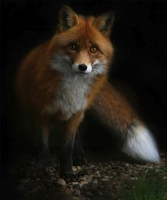 In the forest - fox by ladydragonsrage