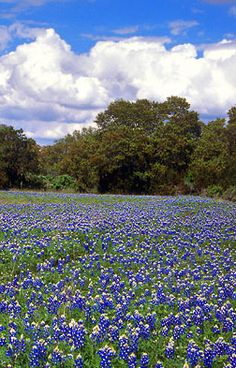 Bluebonnets...it's almost that time of year to go down country roads until you find a field, screech to a halt, throw children in the middle, snap a picture and speed off!...my parents have a field in the front of their property that folks do this in every spring....
