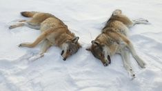Ulv i Norge – Siste nytt –NRK Kangaroo, Animals, Baby Bjorn, Animales, Animaux, Animal, Animais