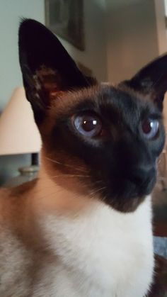 New England Siamese Rescue - Yahoo Groups