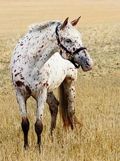 Appaloosa horse. photo: Katja Mayer.