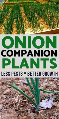 The Best Onion Companion Plants for Your Vegetable Garden Learn which crops are the best onion companion plants to increase your garden harvest, reduce pests, and improve flavor in your onions and other crops.