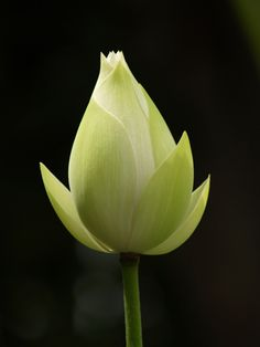 Lotus flowers and buds have been important symbols to many religions both ancient and contemporary including Buddhism, Hinduism, the Bahá'í community, and the ancient Egyptians.