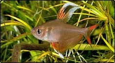 The Rosy tetra is one of the most beautiful in its group and is a great little fish for communities. There are several variations in colour with differing grades of red body colour and black markings on the fins. Rosy tetras are undemanding and will acclimate to a variety of conditions although very hard water may prevent the fish from reaching its best colouring. As with many other small tetras, planted aquariums with subdued areas will provide the best home, resulting in improved health.