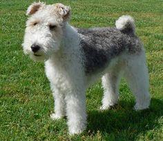 www.petclic.es la mayor tienda online de productos para #mascotas. La mayor biblioteca de contenido y consejos sobre mascotas. 1.000 consejos. 50.000 imagenes. Foto del #perro fox terrier
