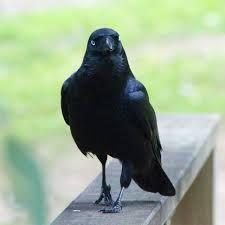 Image result for australian raven