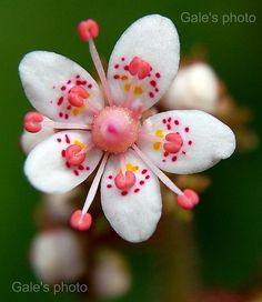 Flower of Saxifraga urbium 'London Pride' [with one missing stamen that may have accidentlly broken off]