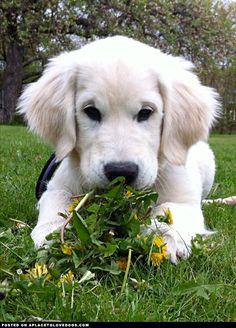 Soft And Fluffy Golden Retriever