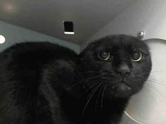 SAFE! TO BE DESTROYED 7/18/14 ** Beautiful panther kitty! Poor Colby is terrified in the shelter and needs your help tonight. Please adopt, foster or pledge to help save this poor baby tonight! ** Brooklyn Center  My name is COLBY. My Animal ID # is A1006564. I am a male black domestic sh. The shelter thinks I am about 4 YEARS old.  I came in the shelter as a STRAY on 07/13/2014 from NY 11430