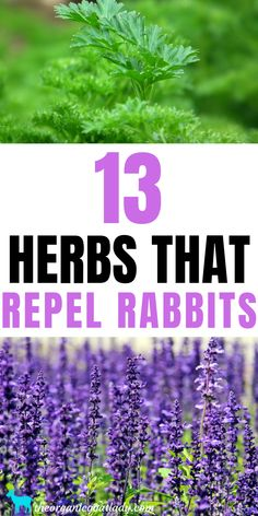 Are you looking for herbs to plant in your garden that will repel rabbits? These 13 herbs are all plants that rabbits are not fond of and tend to avoid. Plants That Repel Spiders, All Plants, Garden Plants, Herb Seeds, Garden Seeds, Love Garden, Lawn And Garden, Rabbit Repellent, Vegetable Garden Design