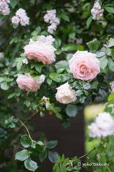 https://flic.kr/p/t712c3 | rose garden Pierre de Ronsard