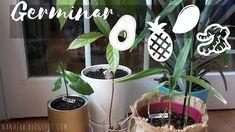 Recopilación de germinados (aguacate, piña, mango y jengibre) Mango, Plants, Manualidades, Balconies, Decks, Manga