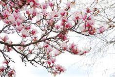 Dems my magnolias.
