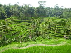 Tegalalang ricefields Bali, Indonesia