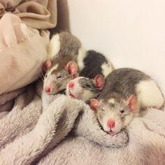 Gouda Gateau and Gimli - 8 weeks  #aww #cute #rat #cuterats #ratsofpinterest #cuddle #fluffy #animals #pets #bestfriend #ittssofluffy #boopthesnoot