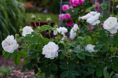 Madame Hardy | Types of Roses | Hedgerow Rose
