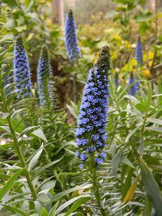 Furighedda gardening: echium fastuosum
