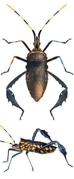 Leptoglossus gonagra