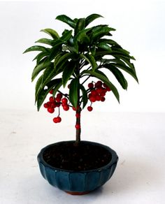 Chinese Coral Berry – House of Bonsai