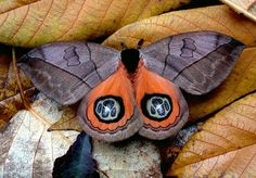 Butterfly of the Andes - Automeris liberia  Bullseye Moth