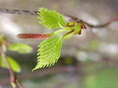#engicards #birchtree #bud #messagefromtheuniverse