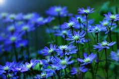 blue flowers for the little garden Flowers Nature, Love Flowers, My Flower, Flower Power, Wild Flowers, Beautiful Flowers, Flower Ideas, Spring Flowers, Dark Blue Flowers