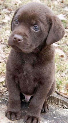 5 Interesting Facts about Labrador Retriever
