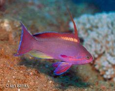 Fiji's Undescribed Lyretail Anthias - https://reefs.com/2016/10/17/fijis-undescribed-lyretail-anthias/