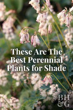 garden ready hardy perennial plant Chiastophyllum oppositifolium