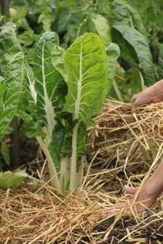 Le paillis - botanic® Permaculture, Oui, Celery, Plant Leaves, Vegetables, Mulches, Vegetable Gardening, Interview, Plant